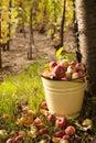apple harvest Royalty Free Stock Photo