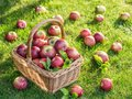 Apple harvest. Ripe red apples in the basket on the green grass. Royalty Free Stock Photo