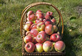 Apple harvest in the sunlight apples wicker basket on grass Royalty Free Stock Photography