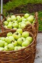 Apple harvest. Two wicker baskets with green apples in orchard Royalty Free Stock Photo