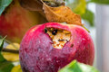 Apple with insects Royalty Free Stock Photo