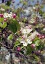 Apple kwiatonośny drzewo Zdjęcie Stock