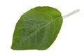 Apple leaf closeup Royalty Free Stock Photo