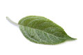 Apple leaf closeup Royalty Free Stock Image