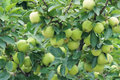 Apple many green apples in branches Stock Photo