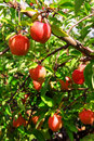 Apple orchard Stock Images