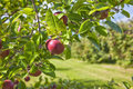 Apple Orchard Detail Stock Images