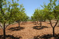 Apple orchard irrigated in the chouf lebanon Stock Photos