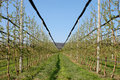 Apple orchard with modern system for irrigation and nets against hail Stock Image