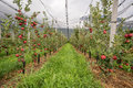 Apple orchard with protection nets. Merano, Italy Royalty Free Stock Photo