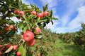 Apple orchard red apples green grass blue sky Royalty Free Stock Photos