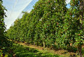 Apple orchard under shade cloth in motueka new zealand red mid summer the growing capitol of protects the apples from Stock Photos