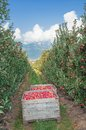 Apple plantation south tyrolean wine route italy at near bolzano and merano trentino alto adige Royalty Free Stock Photo