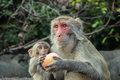 Apple sharing a young rhesus macaque and a crab eating macaque an Royalty Free Stock Photos