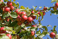 Apple tree Royalty Free Stock Photography