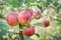 Manzana árbol