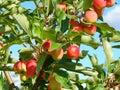 Baum Äpfel