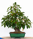 Apple tree as Bonsai Stock Photography