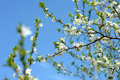 Apple tree in bloom Stock Photography