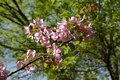 Apple tree bloom in spring. Malus Niedzwetzkyana. Branch with delicate pink flowers Royalty Free Stock Photo
