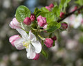 Apple tree blooms Royalty Free Stock Images