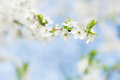Apple tree blossom on blue sky. Spring garden, outdoor Royalty Free Stock Photo