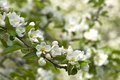 Apple tree blossom closeup of branch with Royalty Free Stock Image