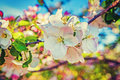 Apple tree blossom floral background inatagram Royalty Free Stock Photo