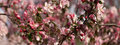 Apple tree in blossom panorama Royalty Free Stock Photo
