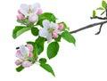 Apple tree blossom Royalty Free Stock Photo