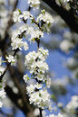 Apple tree blossoming close up Royalty Free Stock Images