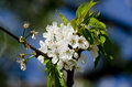 Apple tree blossoming close up Stock Image