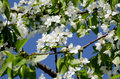 Apple tree blossoming close up Royalty Free Stock Photos