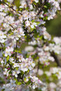Apple tree blossoms detail of an in full bloom Royalty Free Stock Images