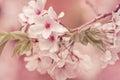 Apple tree branch in bloom lovely blossoms full Stock Image