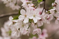 Apple tree branch blossoms in full bloom Stock Photos
