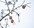 Apple tree branch of frozen garden with apples covered by snow in on white sky background Stock Images