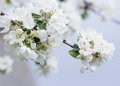 Apple tree branch in full bloom with white and pink flowers Royalty Free Stock Photo
