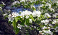 Apple tree branches with white flowers spring closeup deep many blossom in on sunny day Royalty Free Stock Photography
