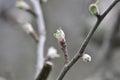 Apple tree bud closeup Royalty Free Stock Photo