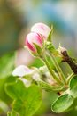 Apple tree buds in a spring Royalty Free Stock Photo