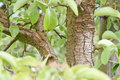 Apple tree closeup of an trunk with blurred leaves Stock Photo