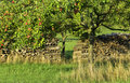 Apple tree in countryside Royalty Free Stock Photo