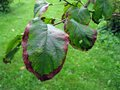 Apple tree disease bacterial scorch or fire blight on Stock Photos