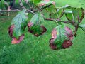 Apple tree disease bacterial scorch or fire blight on Stock Images