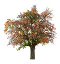 Apple tree in fall Royalty Free Stock Image