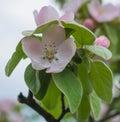 Apple tree flower blossom macro of Royalty Free Stock Photos