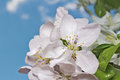 Apple tree flower and sky Royalty Free Stock Photo