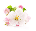 Apple tree flowers isolated on white spring blossoms Royalty Free Stock Photos