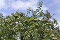 Apple tree fruit sky growing Stock Photography